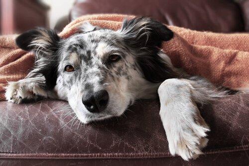 Grippe bei Hunden: Symptome und Behandlung