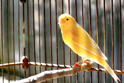 Käfig für den Kanarienvogel