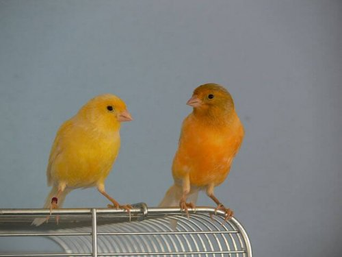 Kanarienvogelpärchen