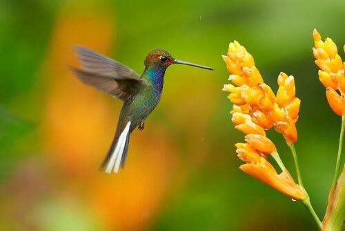 Kolibri: ein herrlicher Vogel mit einem faszinierenden Leben
