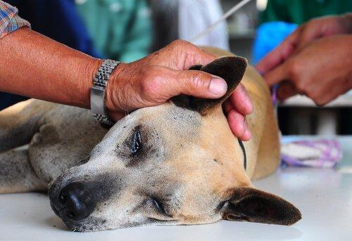 Der Tierarzt untersucht den Juckreiz an den Ohren