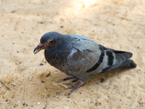 Krankheiten bei Tauben