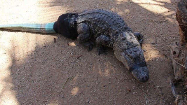 Krokodil mit Prothese