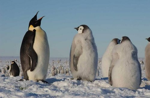 Der Pinguin ist vom Aussterben bedroht