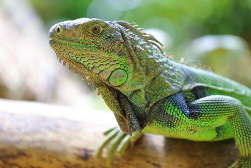 Salmonellose und Leguane