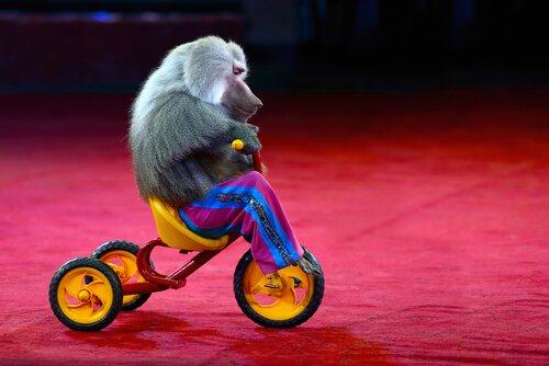 Tierquälerei: Ein Affe mit Kleidung ist nicht lustig