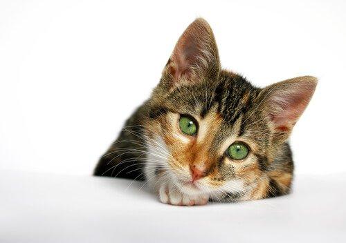 Tödliche Krankheiten bei Katzen: Katzen-AIDS