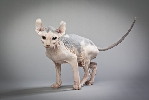 Elfenkatze: die kahle Mieze mit den gebogenen Ohren