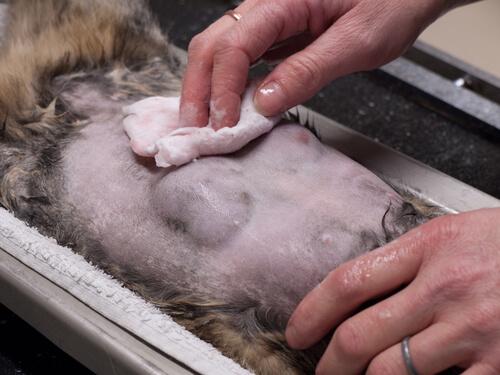 Vier Gründe, dein Haustier zu sterilisieren: Lebenserwartung