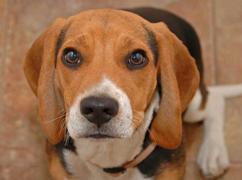 Warum tränen Hunden die Augen? Weinen sie?