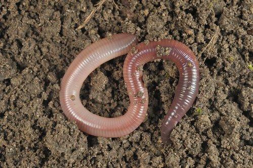 Regenwürmer: 5 Fakten, die du bestimmt nicht kennst