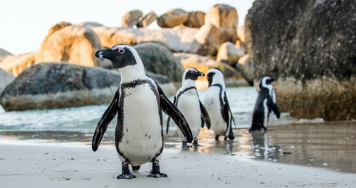 Wo leben Pinguine eigentlich?