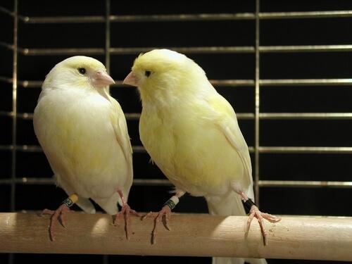 Tipps zur Zucht von Kanarienvögeln
