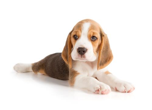 6 Ruhepositionen von Hunden: Bauchlage