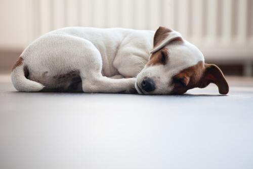 6 Ruhepositionen von Hunden: Eingerollt