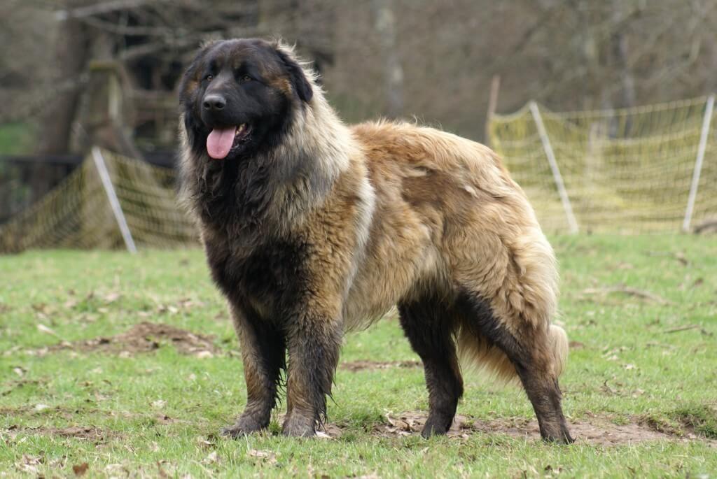 Cão da Serra da Estrela: ein portugiesischer Hirtenhund