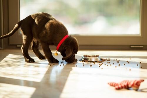 Was tun, wenn dein Hund sein Futter herunterschlingt?