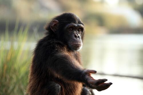 Affen können Zeichensprache lernen