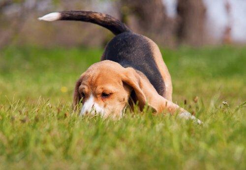Beagle auf der Spur