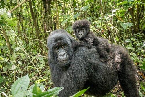 Habitat des Berggorillas