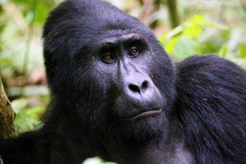 Portrait eine Berggorillas