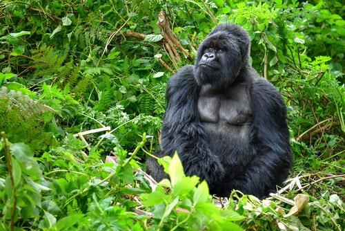 Der Berggorilla, ein einzigartiger Primat
