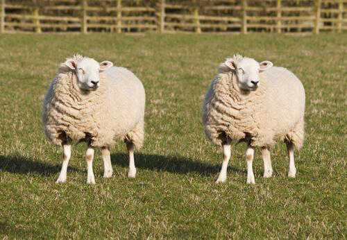Berühmte Tiere - Dolly, das Schaf