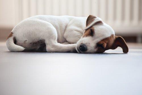 Bewegungsmangel bei Haustieren: Hund schläft