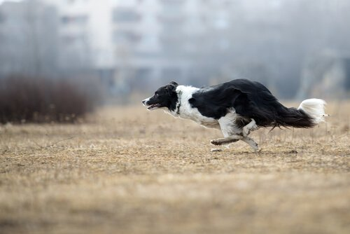 Border Collies sind sehr intelligent