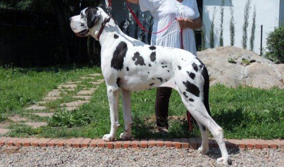 Hunde mit Wobbler-Syndrom sind allem große Rassen.