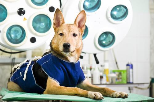 Hunde mit Wobbler-Syndrom können unter Umständen operativ behandelt werden.