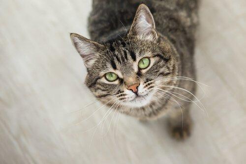 Der intensive Blick einer Katze