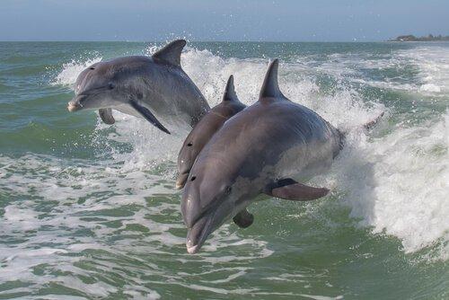 Der Delfin zählt zu den intelligentesten Tierarten