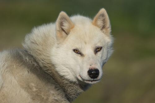 Der kräftige Grönlandhund: stark und widerstandsfähig