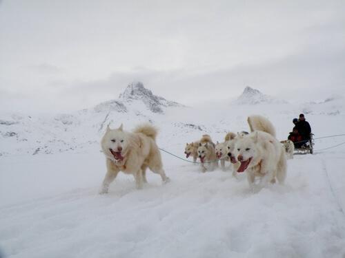 Der kräftige Grönlandhund ist ein ausgezeichneter Arbeitshund.