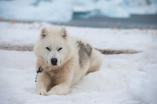 Der kräftige Grönlandhund ist nicht zimperlich.