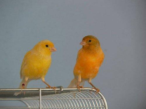 Die Brutzeit der Kanarienvögel erfordert Brutbereitschaft.
