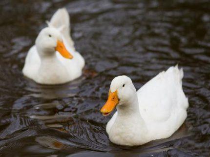 Die Haltung von Enten erfordert ein Gewässer.