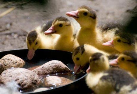 Die Haltung von Enten wird beliebter.