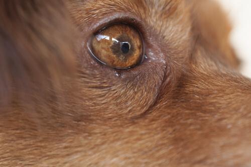 Wie äußert sich eine Bindehautentzündung beim Hund?