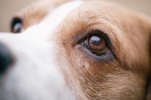 Einer Bindehautentzündung bei Hunden kann man mit Hygiene vorbeugen.