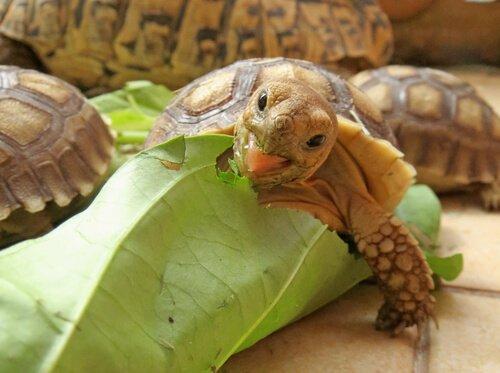 Wissenswertes über die Ernährung der Spornschildkröte