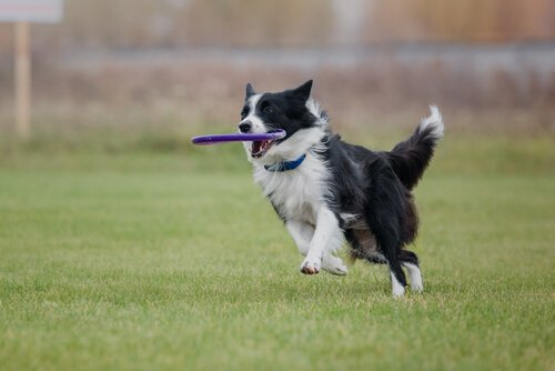Frisbee mit dem Border Collie