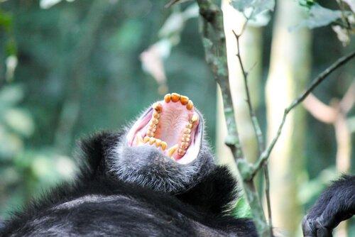 Gorillas werden gejagd