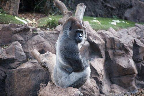 Habitat des westlichen Gorillas