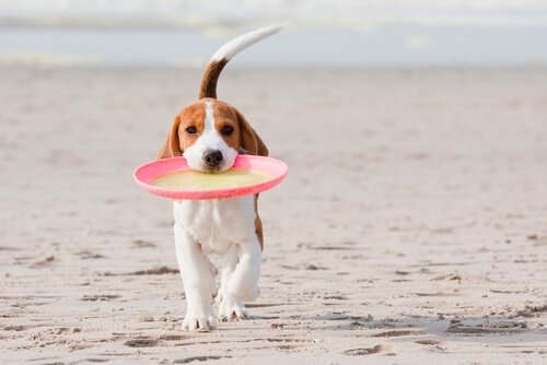 Hund und Frisbee