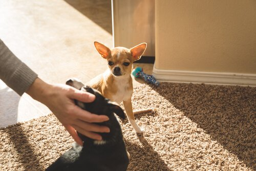 Hunde spüren Eifersucht - kann das sein?