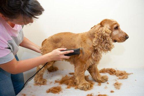 Hundefell rasieren: zu Hause oder besser beim Spezialisten?