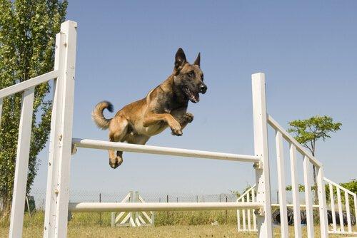 Hundesportarten: Agility