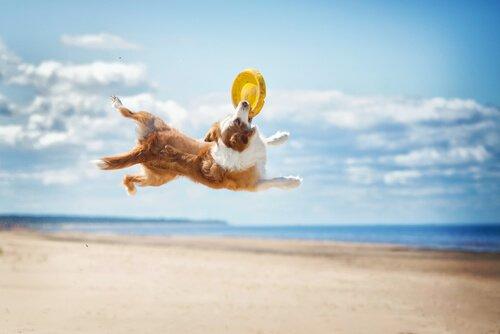 Hundesportarten: Hundefrisbee